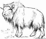 Muskox Coloring Ox Musk Template Designlooter Ovibos Moschatus Tundra Typical Sketch Animal sketch template