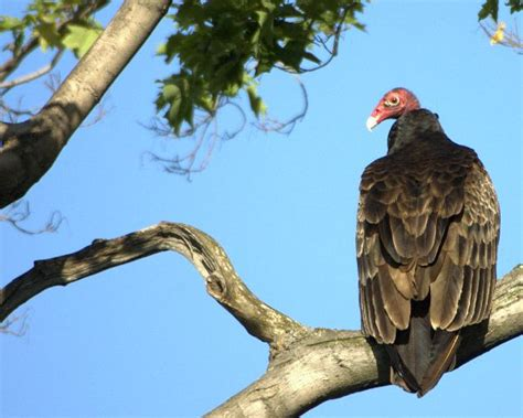 turkey vulture animal facts and information