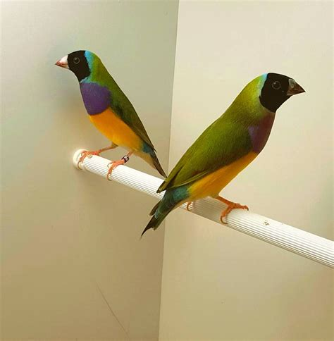 part 1 an introduction to the gouldian finch planet aviary