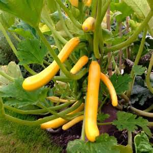 Zucchini Faulen An Der Spitze : 61 best obst gem se images on pinterest garden projects plants and decks ~ Eleganceandgraceweddings.com Haus und Dekorationen