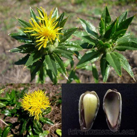 safflower false saffron carthamus tinctorius seed fair