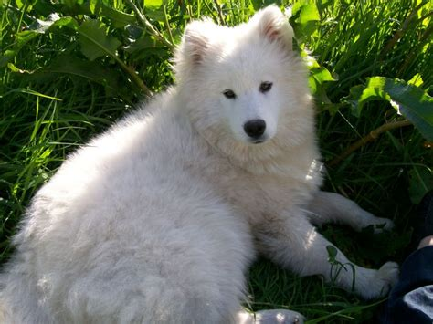 17 Best Images About Samoyed On Pinterest Free Stock