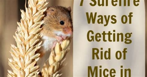 how to get rid of creeping naturally get rid of those bothersome mice without paying a professional home mice and a professional