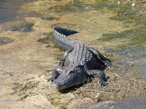 Airboat Rides And Zoo by South Florida Everglades Airboat Rides And Tours