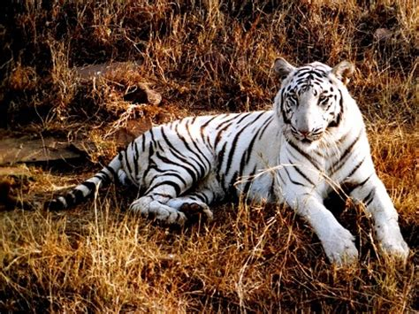 beautiful  cool tiger pictures part