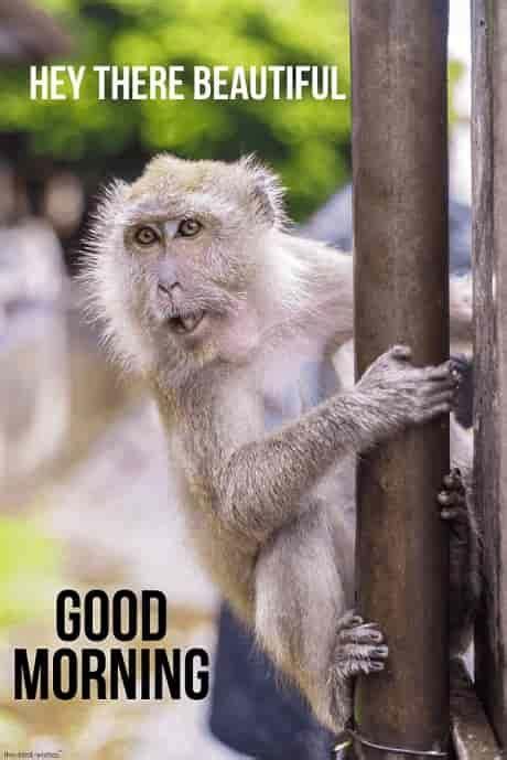 super funny good morning images  monkey
