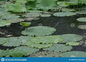 Water Lily Lotus Floating Leaf Stock Photo
