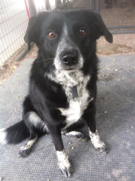 adopt stetson  dog collie  amazing dogs