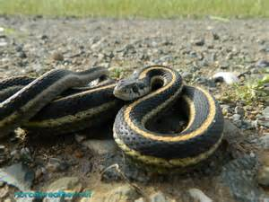 Black Yellow Garter Snake