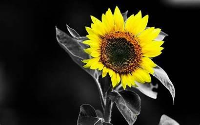 Sunflower Wallpapers Yellow Desktop 1080p Colour Wide
