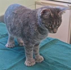 polydactyl cats best 25 polydactyl cat ideas on