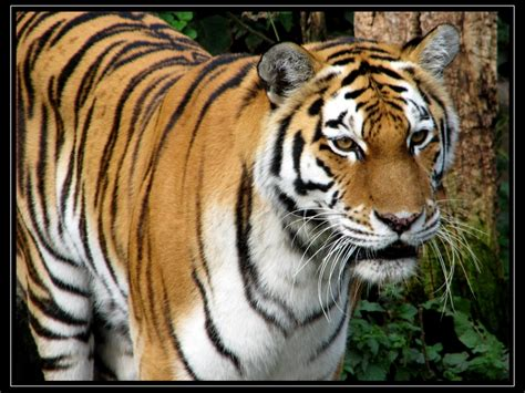 wallpapers shop  tiger wallpaper desktop