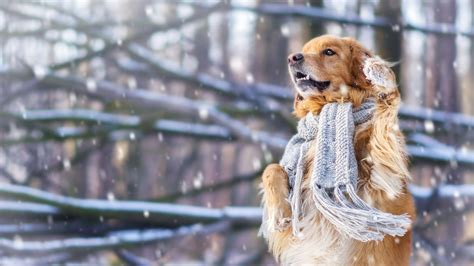 wallpaper dog cute animals snow winter  animals