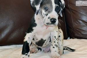 Great Dane puppy for sale near Eastern NC, North Carolina ...