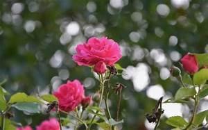 Comment Tailler Les Rosiers : comment tailler les rosiers astuces pratiques ~ Nature-et-papiers.com Idées de Décoration