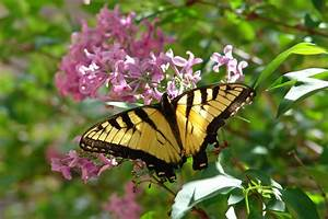 Host, Plants, For, Swallowtails
