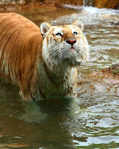 Pin Gonzalo Barba Animal Golden Tiger Beautiful