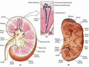 126 Best Images About Kidneys On Pinterest