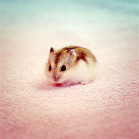 baby hamster 25 best ideas about baby hamster on pinterest a hamster cute hamsters and hamsters