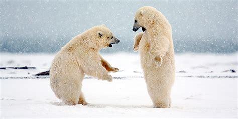 polar bear national wildlife federation