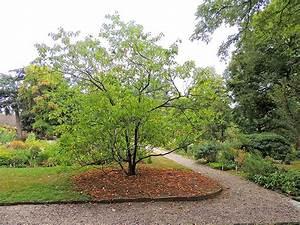 Franklinia alatamaha – Bartram's Garden   Garden Walk ...