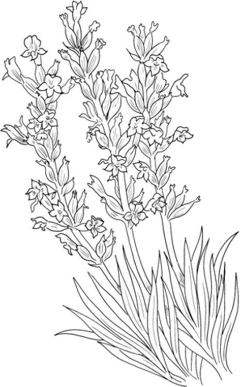 lavandula angustifolia  common lavender coloring page supercoloringcom