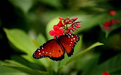 Butterflies Flowers Wallpapers Butterfly Rose Colors Attractive
