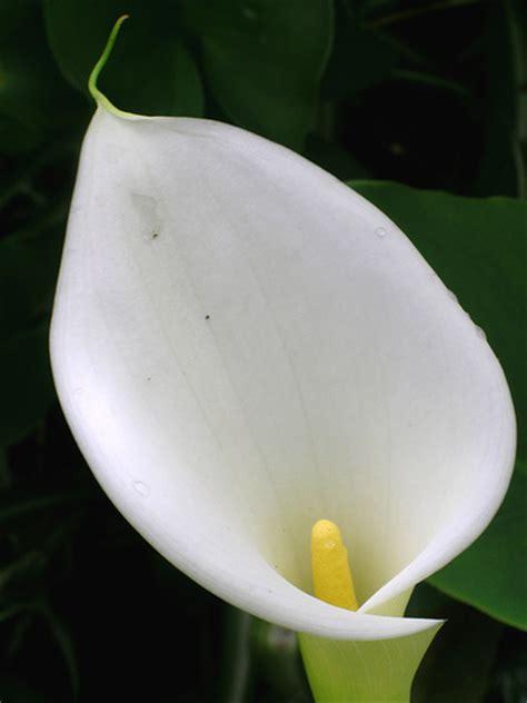 how to store calla bulbs winter storing calla lily bulbs garden guides