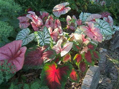 when do caladiums bloom lilies caladiums and summer bulbs to brighten your garden