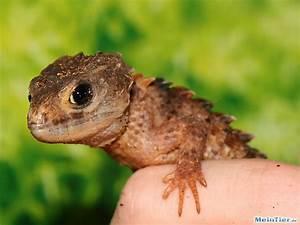 Große Reptilien Für Zuhause : haltungsbericht neuguinea helmskink die ~ Lizthompson.info Haus und Dekorationen