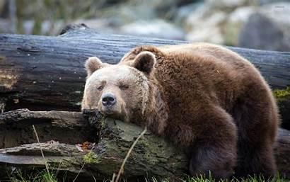 Lazy Bear Animals Morgen Guten Tiere Animal