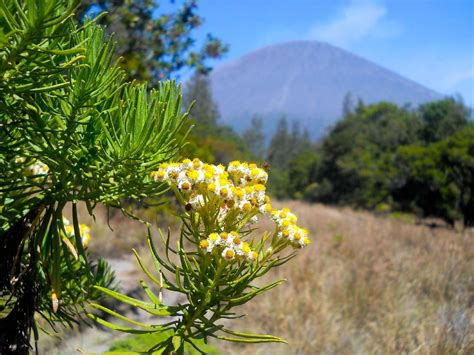keindahan bunga edelweis  kawasan gunung bromo good