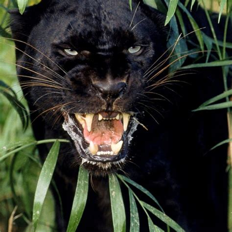 Black Jaguar Animal Hd Wallpapers - black panther wallpaper hd closeup animal backgrounds