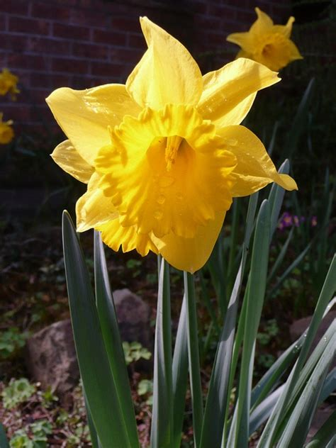 daffodil imho the best smelling flower outdoor living