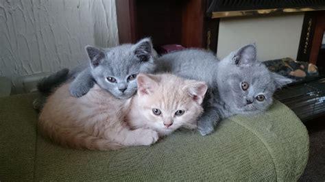 shorthair kittens for sale blue shorthair kittens for sale dunfermline
