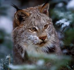 North American Wildlife Animals | Wallpapers Gallery