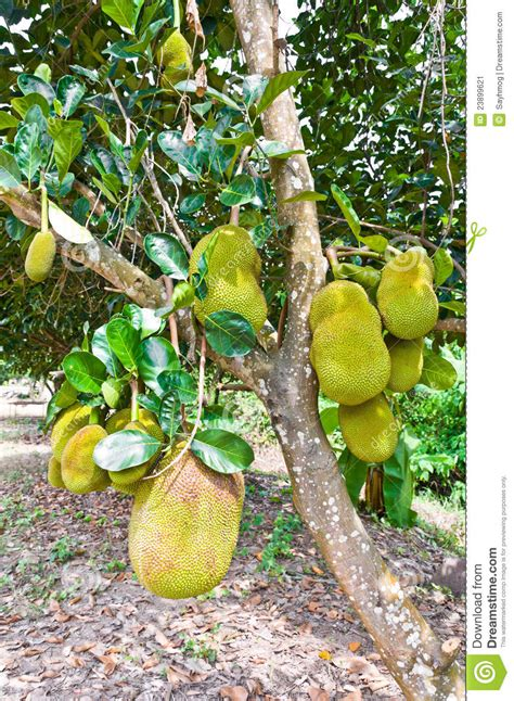 jackfruit tree clipart clipground
