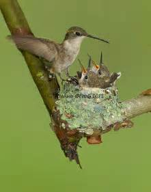 Images Ruby-throated Hummingbird Nests Locations