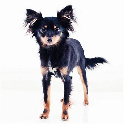 Toy Russkiy Dog Breeds Breed Learn Tan