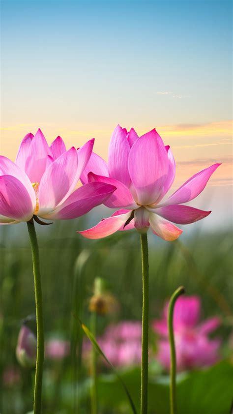wallpaper lotus flowers pink flowers hd flowers