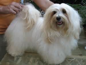 How Big Do Havanese Dogs Get