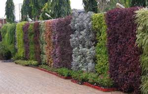 buy rhoeo golden vertical plant pack of 3 at best prices in india chhajedgarden