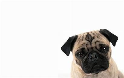 Pugs Pug Wallpapers Dog Funny Desktop Background