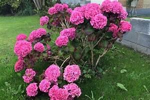 Wie Lange Blühen Hortensien : hortensie blau pflege pflanzen f r nassen boden ~ Frokenaadalensverden.com Haus und Dekorationen