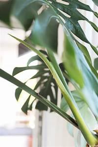 Pflanze Große Blätter : so vermehrt ihr eure monstera pflanze im wasser bonny und kleid ~ Avissmed.com Haus und Dekorationen