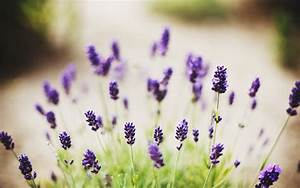Lavender Flowers Desktop Backgrounds - Wallpaper, High ...