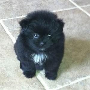 My Fluffy Black Pomeranian Puppy | Cute | Pinterest ...