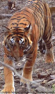 Sultan - the young sub adult male tiger at Ranthambhore ...