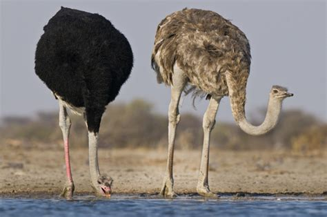 uccelli non volanti foto perch 233 gli struzzi e tanti altri uccelli non sanno