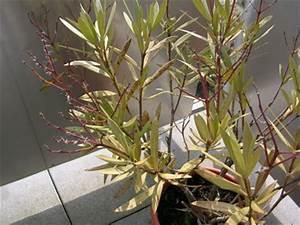 Oleander Schnitt Anleitung : oleander ~ Lizthompson.info Haus und Dekorationen